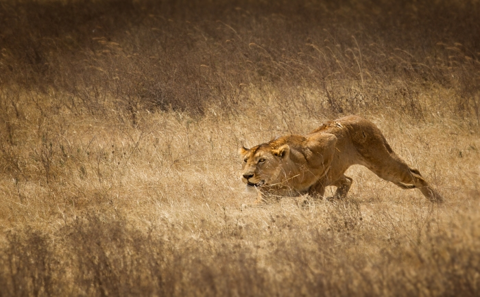 crouching_lion